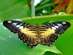 Nabrać lepidopterologa