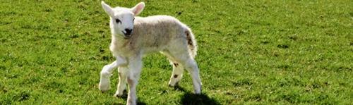 Źródło obrazka: Daily Post: http://www.dailypost.co.uk/news/north-wales-news/watch-five-legged-lamb-keep-limbs-9095889