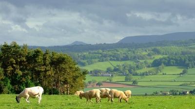 Owce z widokiem na Black Mountains