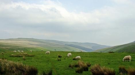 Owce z Grwyne Fawr