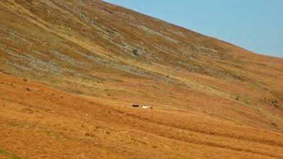 Dzikie konie na zboczach Pen Cerrig-Calch