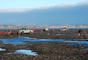 Poławiacze ostryg na plażach Gower