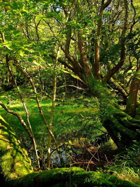Podmokły las w Gwenffrwd-Dinas Nature Reserve