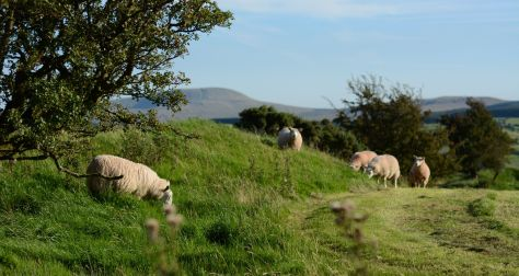 Owce w BM